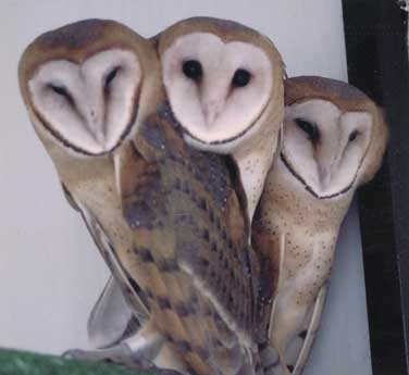 Juvenile Barn Owls  cl...